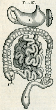Digestive tract, 1884